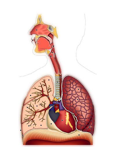 respiratoire.png
